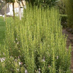 http://mplant.persiangig.com/image/Rosmarinus_officinalis__Rosemary_550_550.jpg