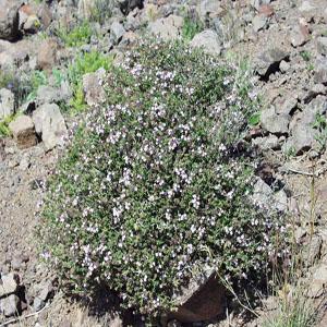 http://mplant.persiangig.com/image/Thymus_vulgaris.JPG